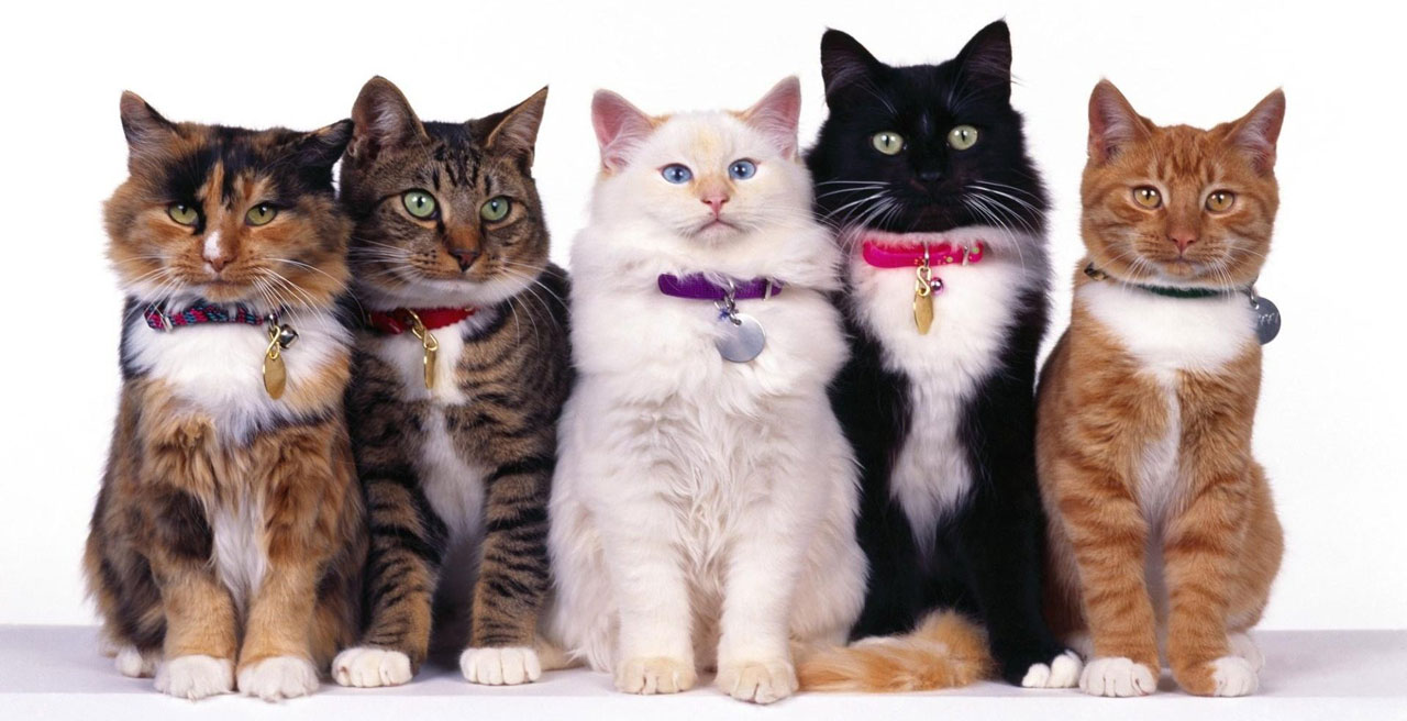 Cat Coat Colours – what do they mean?